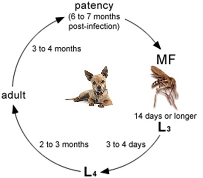Lifecycle of Heartworm