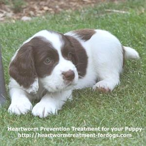 heartworm prevention for your puppy