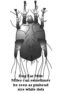 ear mite magnified